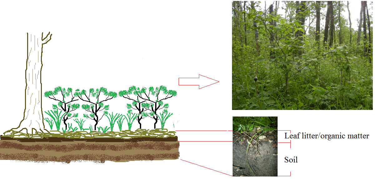 Diagram and photos of forest vegetation.